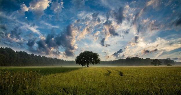 Lone Cornfield Tree